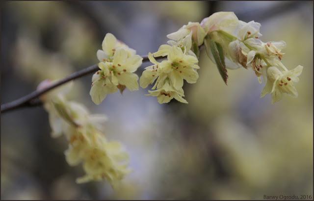 leszczynowiec kwiaty