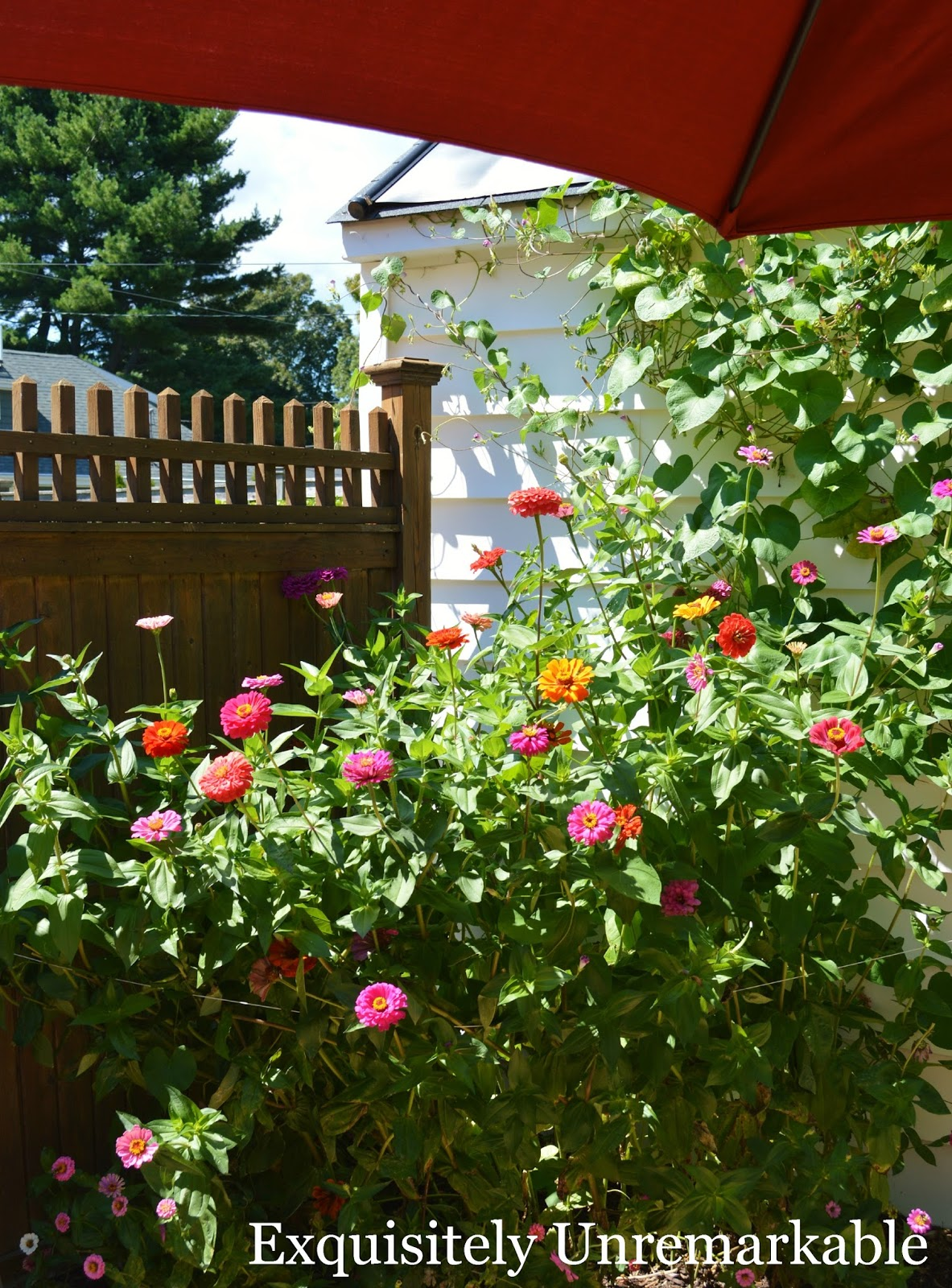 How To Grow A Zinnia Bush From Seeds