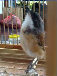 Burung Cendet - Gangguan Pernapasan yang Menyerang Burung Cendet dan Cara Penangannannya - Penangkaran Burung Cendet