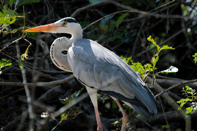 Grey Heron - Ranganathittu Bird Sanctuary
