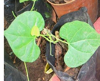 forma de tulpină varicoasă