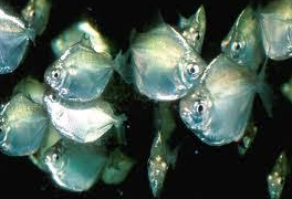 Ikan silver dollar merupakan salah satu jenis ikan hias air tawar  Kabar Terbaru- BUDIDAYA IKAN SILVER DOLLAR