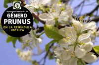 El género Prunusson arboles que pertenecen a la familia Rosaceae, incluyen entre sus especies a la gran mayoría de los frutales
