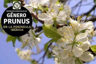 El género Prunus son arboles o arbustos frutales de hoja simple o compuestas,