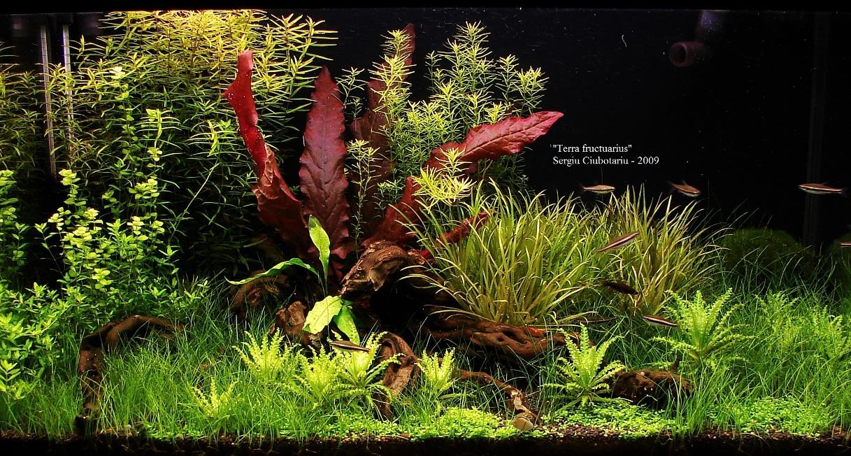 Cây biệt liên đỏ được yêu thích nhờ màu sắc bắt mắt trong bể thủy sinh