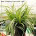 🤷INDOOR PLANT🤷Carex Morrowii ' Variegata' Cyperaceae Japanese Sedge Grass Plant Care