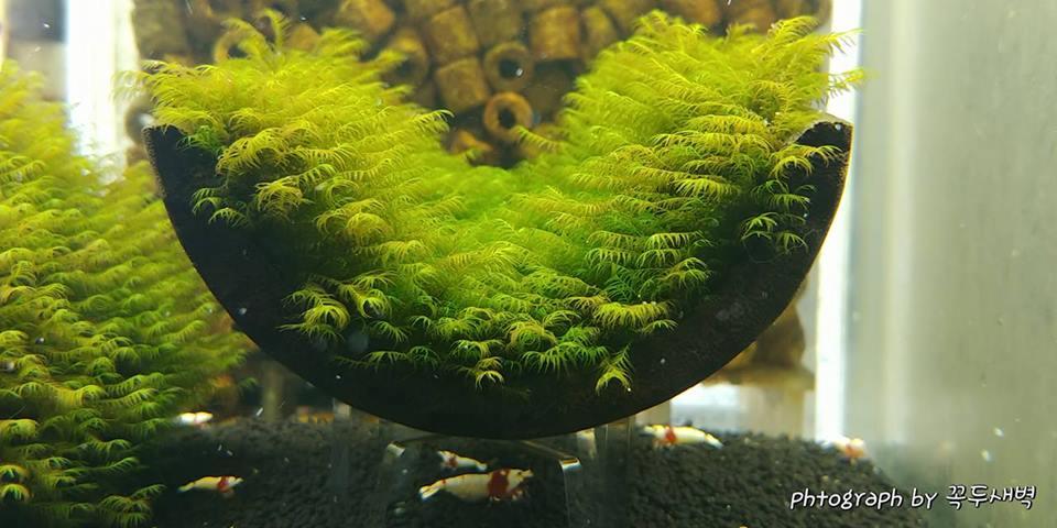 Cận cảnh vẻ đẹp rêu thủy sinh Us fiss