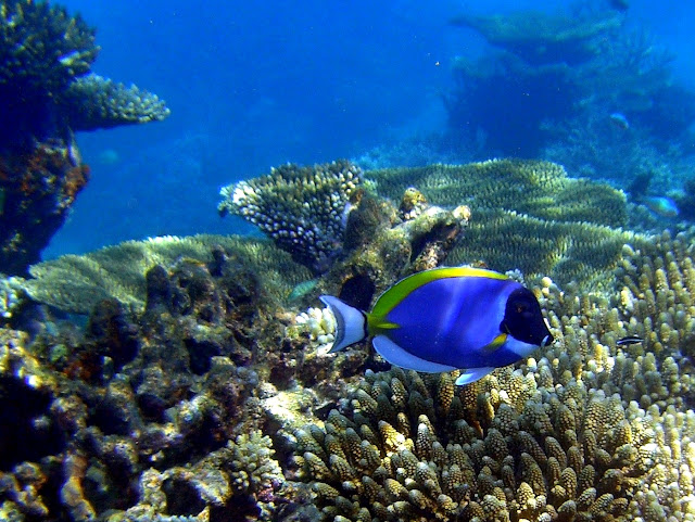 powder-blue surgeonfish, indian ocean, maldives, tropics