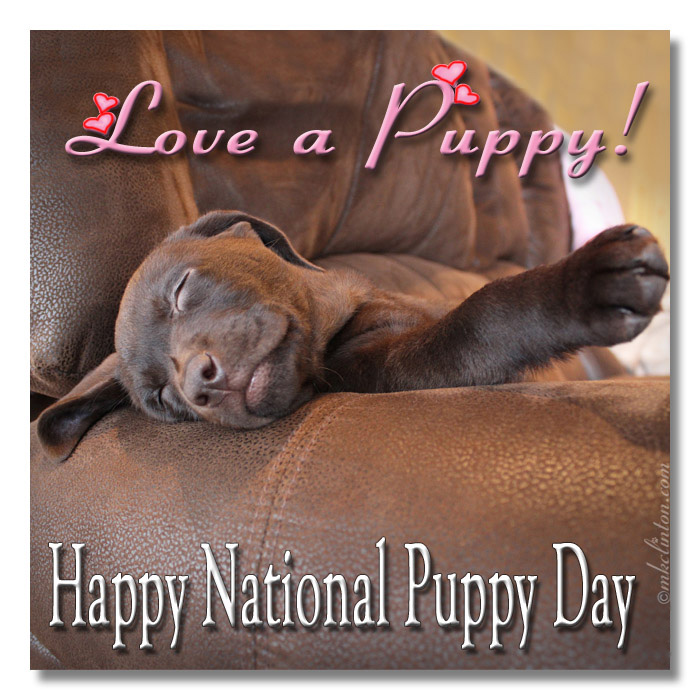Love a puppy! Happy National Puppy Day with Paisley the Lab sleeping
