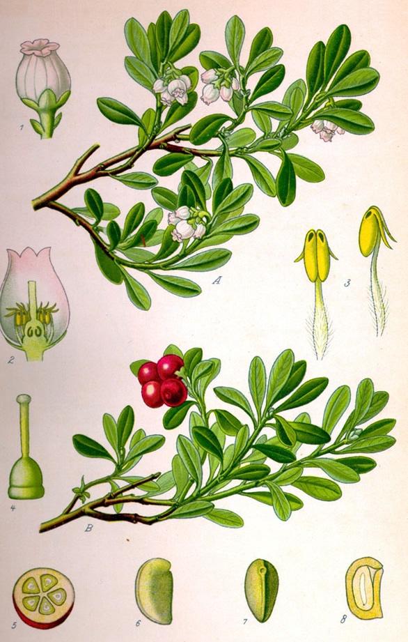 Picture of uva ursi