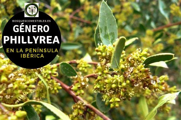 Lista de Especies del Género Phillyrea, Familia Oleaceae en la Península Ibérica