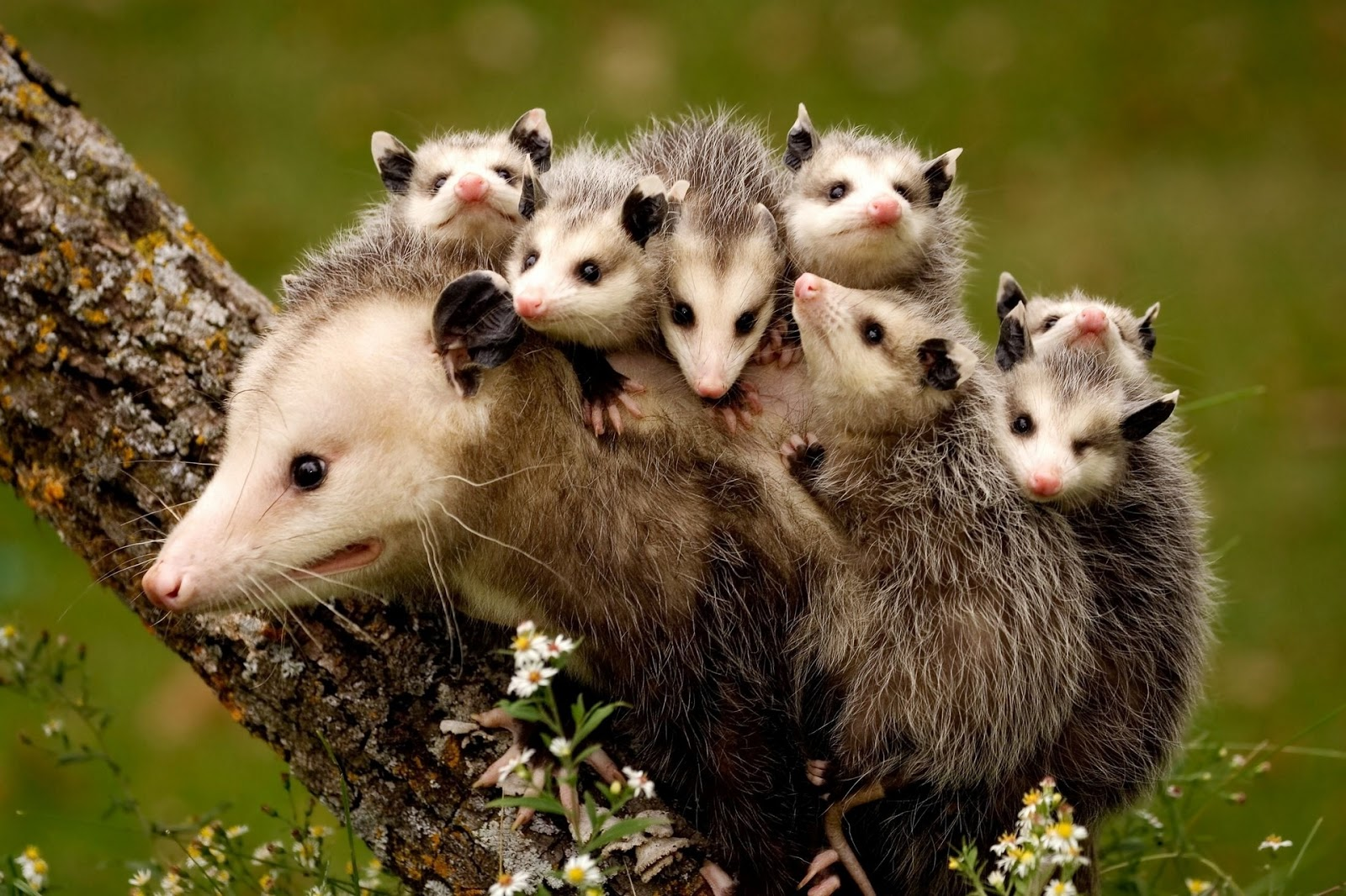 Virginia Opossum. All Images, Backyard Zoologist And Creative Commons