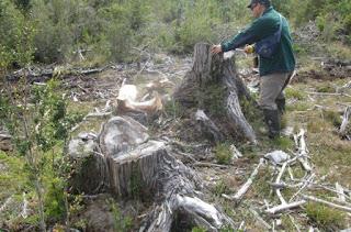Detectan tala de 177 alerces vivos en Los Lagos: Especie está en peligro de extinción
