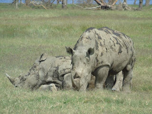 rhinoceros lake nakuru national park kenya safari