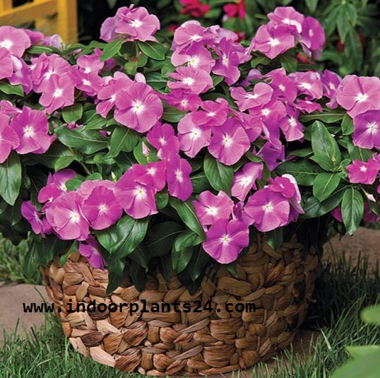 Catharanthus Roseus indoor house plant