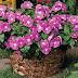 Catharanthus Roseus Apocynaceae MADAGASCAR PERIWINKLE Plant Care