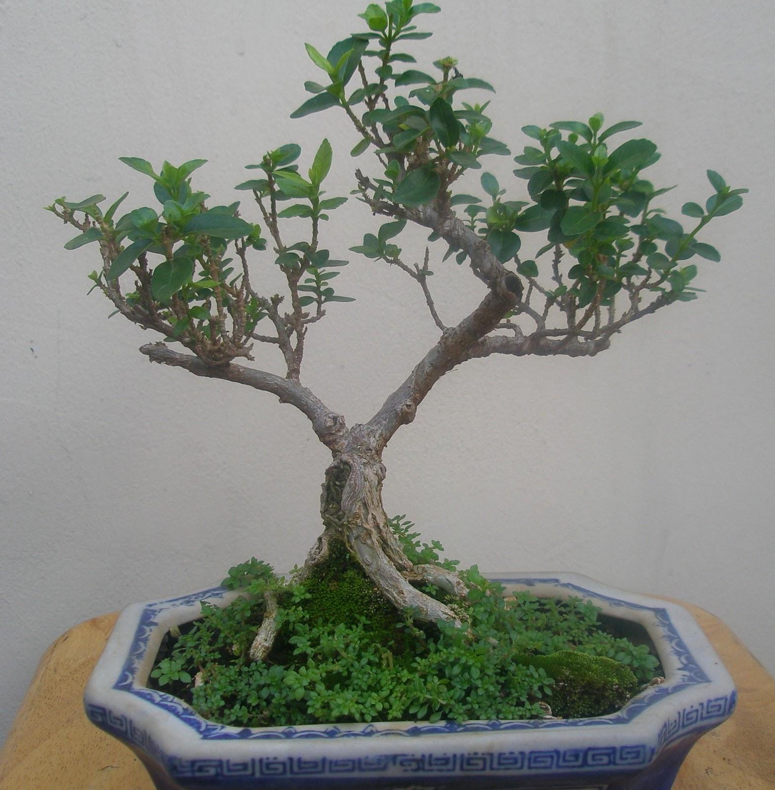 Bonsai Tree 20 Modern Cottonwood Bonsai Inspirations