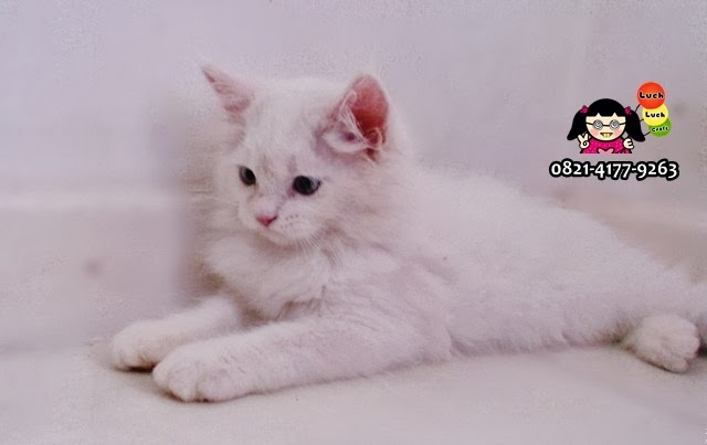 kucing persia medium lucu