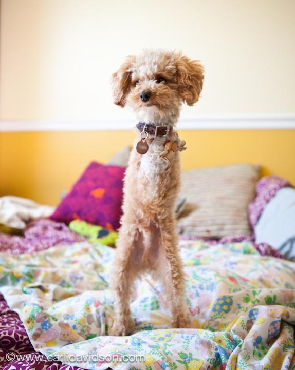 Meet Ramen Noodle A Two Legged Dog 4 Pics Amazing