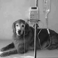 Tratamento Parvovirose em cachorro