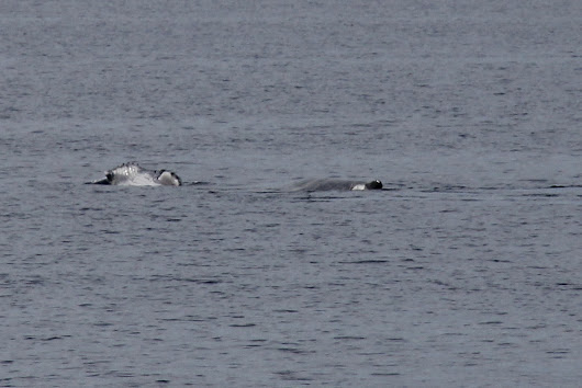 Whalewatching in Hervey Bay