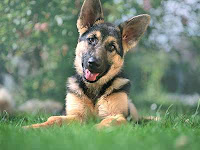 German Shepherd Puppies Biting And Nipping