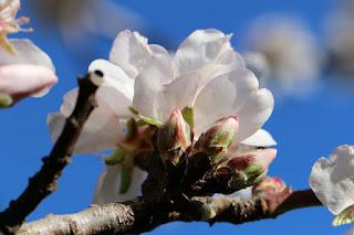 La flore autour du château de Peyrepertuse : l'amandier