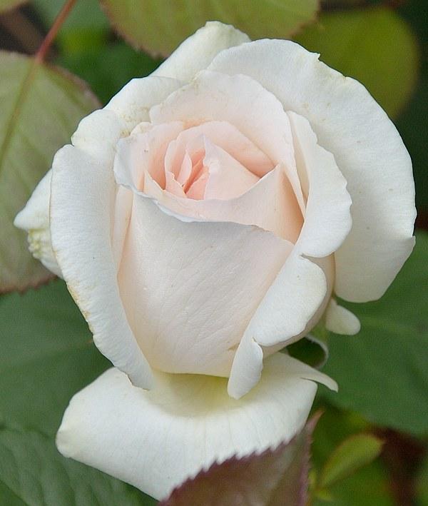 Helena Renaissance сорт розы фото саженцы Минск купить