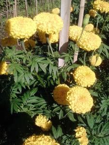 Bunga Gumitir.