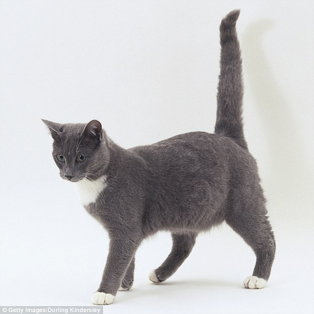 Can My Cat Break Its Tail