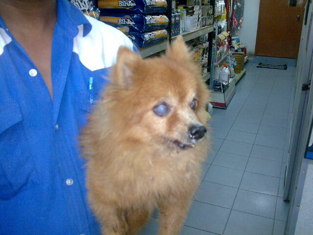 Malaysian Dogs Deserve Better Old Pomeranian Dumped By Some