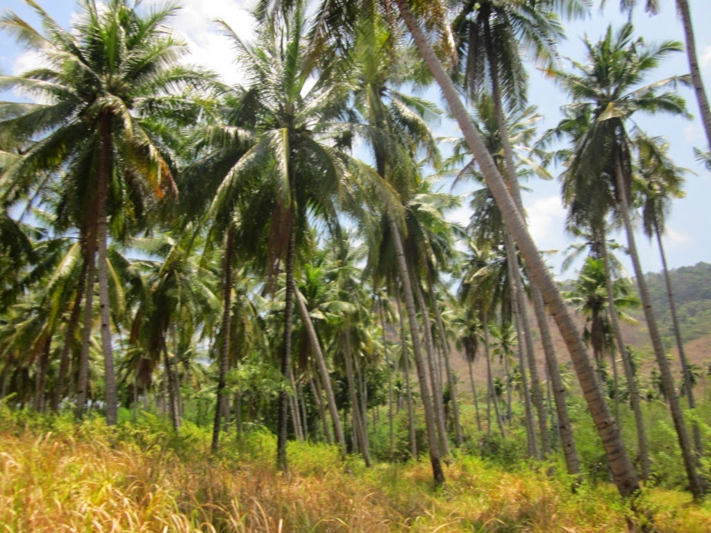 Pohon kelapa di Flores