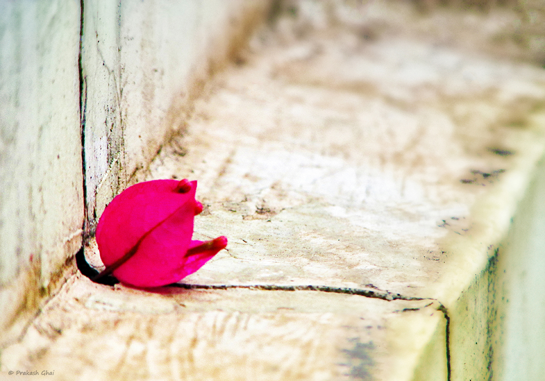 A Minimalist Photo of a Pink bougainvillea flower stuck in the crack of a wall.