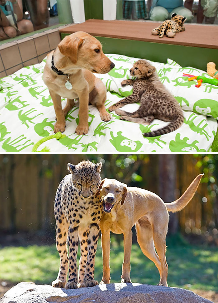 #11 Kasi The Cheetah And Mtani The Labrador Best Friends Eve - 15 Before & After Pics Of Animals Growing Up Together