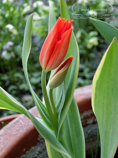 тюльпан Praestans Unicum, тюльпаны, сад, цветник, тюльпаны в саду, сорта тюльпанов, фото тюльпанов