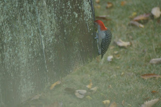 male red-bellied woodpecker working the side of the garden shed