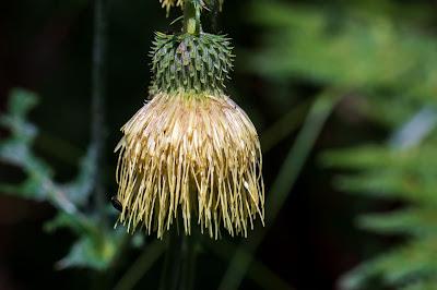 [Asteraceae] Cirsium erisithales – Yellow Thistle (Cardo zampa d'orso)