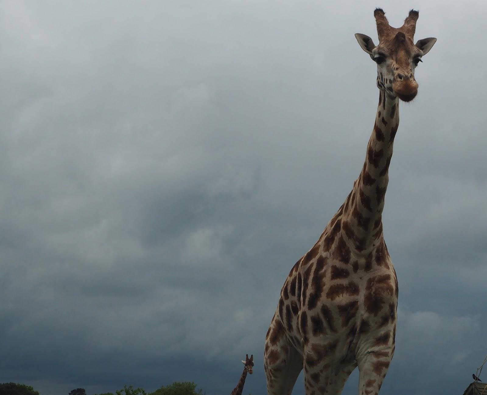 west midland safari park giraffe