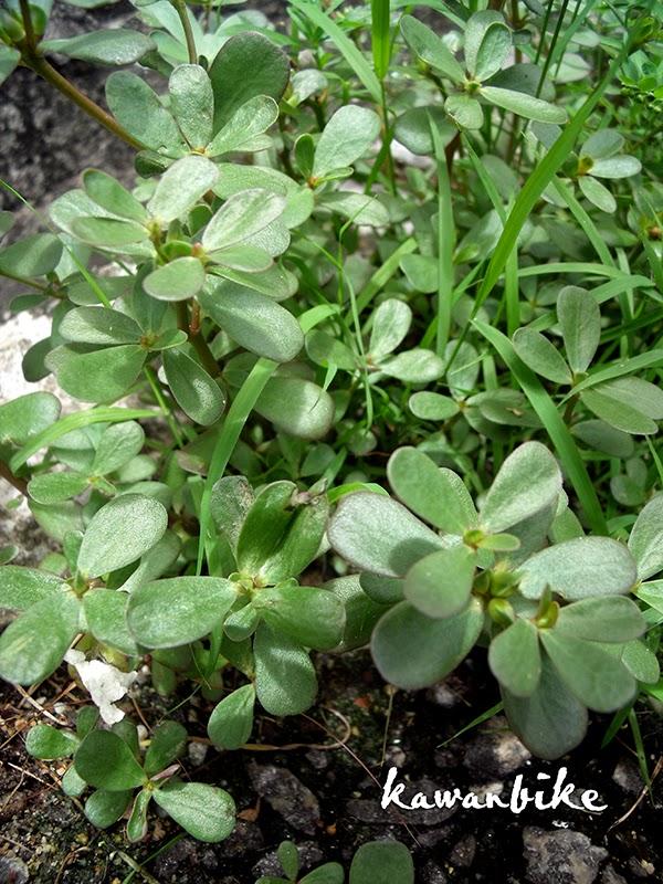 Growing Purslane How To Grow Edible Purslane In The Garden: Kawanbike