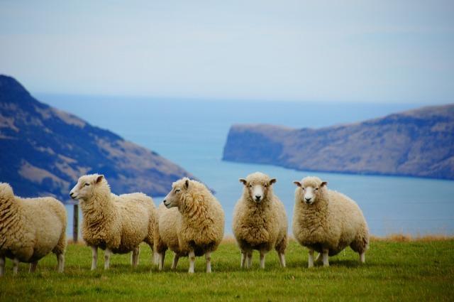 Peternakan domba, Selandia Baru