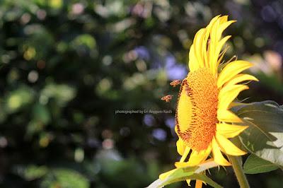 Sun Flowers pollination.