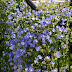 Jacquemontia pentanthos - A Trepadeira-céu-azul