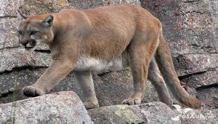 10 Jenis Kucing Terbesar di Dunia Yang Masih Hidup dan Pernah Ditemukan