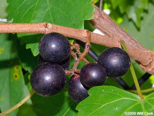 anggur muscadine shaklee