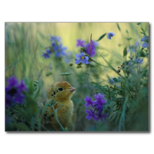 Prairie Chick Amidst Wildflowers in Springtime | Photo Poster