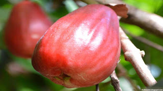 malay apple fruit images wallpaper