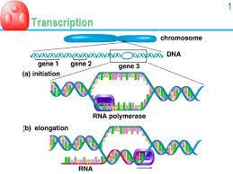 Tahap - Tahap Transkripsi Ekspresi Gen