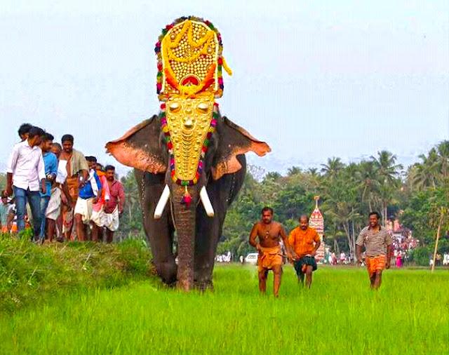 Male ♂ Asian elephant (Elephas maximus) Thrikkadavoor Sivaraju at Travancore Devaswom Board (TDB)