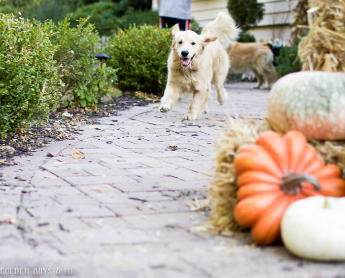 Enthusiastic fall golden retriever greeting with fall decor