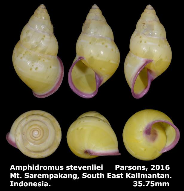 Amphidromus stevenliei 35.75mm